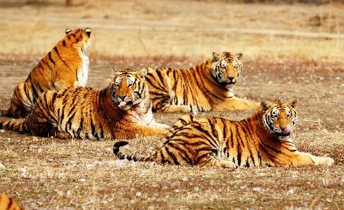 النمور تنهش طفلا داخل حديقة حيوان أركنسو بأمريكا.. ويرقد فى حالة حرجة